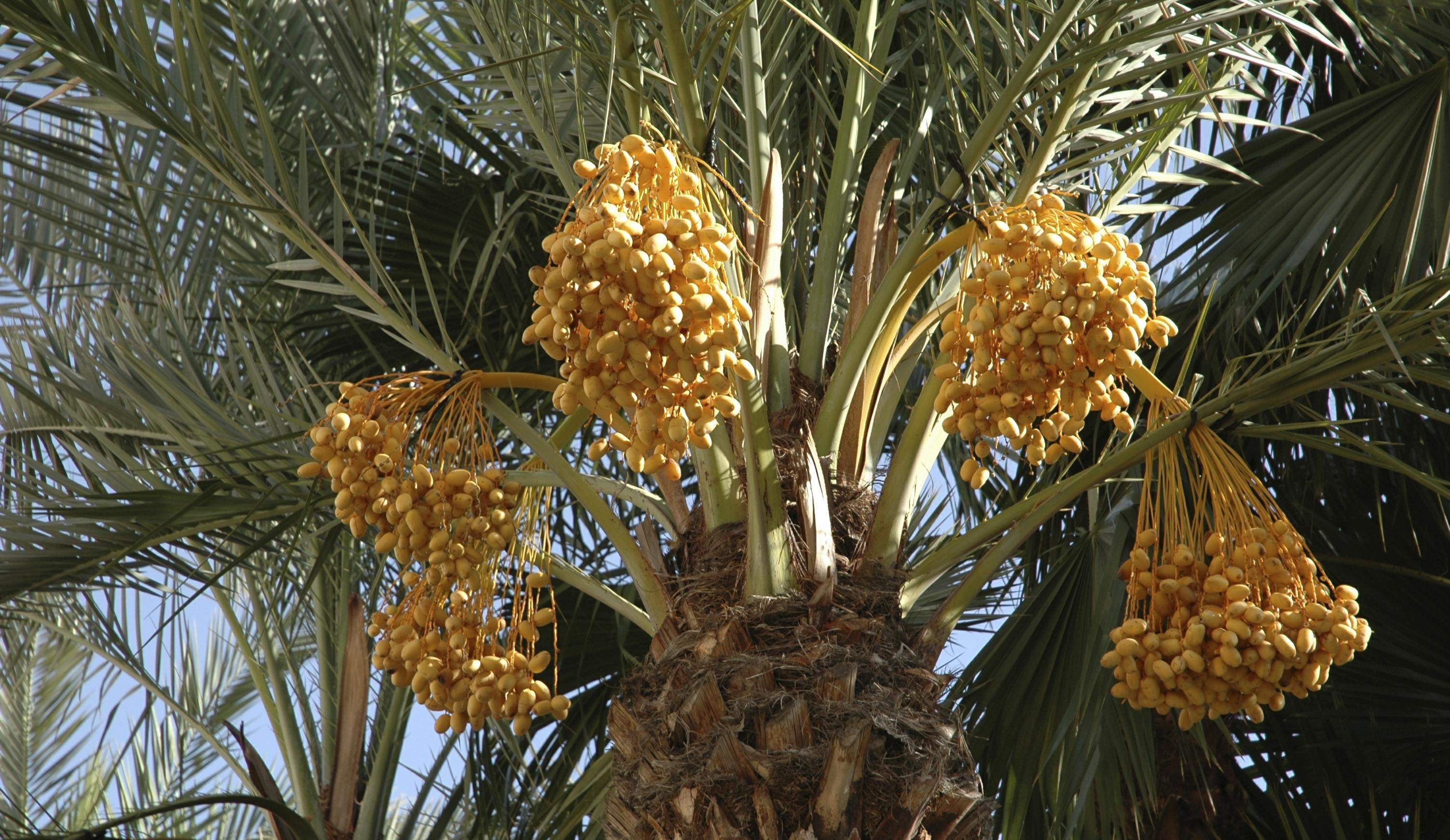 palmier dattier 2