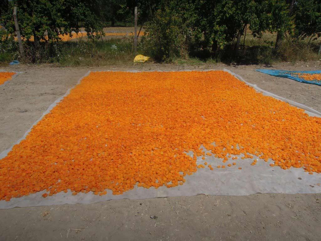 sechage abricot